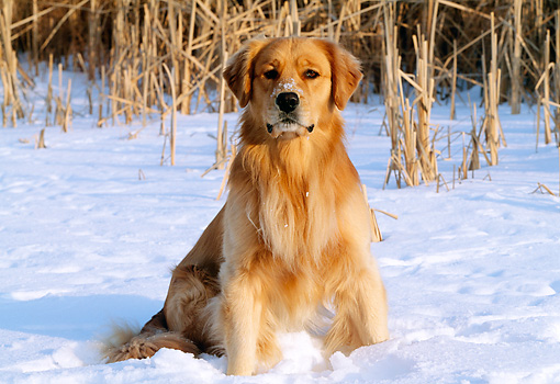 DOG 03 LS0017 01 © Kimball Stock Portrait Of Golden Retriever Sitting On Snow At Edge Of Field