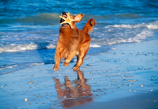 DOG 03 LS0019 01 © Kimball Stock Golden Retriever Running On Beach With Sea Star In Mouth