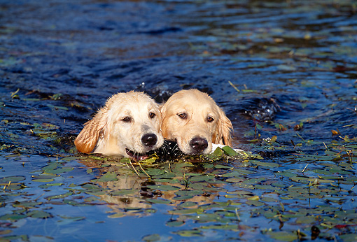 DOG 03 LS0021 01 © Kimball Stock Two Golden Retrievers Swimming With Toy In Their Mouths