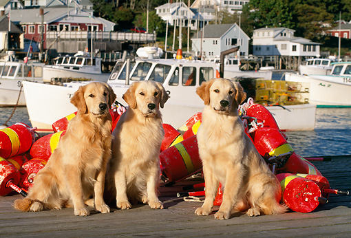 DOG 03 LS0024 01 © Kimball Stock Three Golden Retrievers Sitting On Dock By Fishing Gear