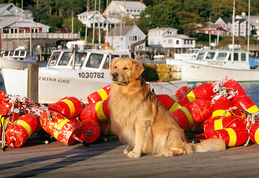 DOG 03 LS0025 01 © Kimball Stock Golden Retriever Sitting On Dock By Fishing Gear