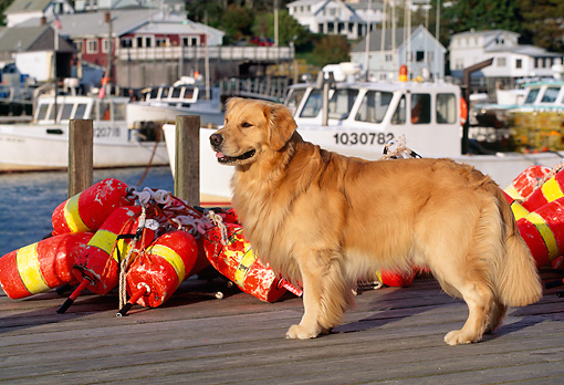 DOG 03 LS0026 01 © Kimball Stock Golden Retriever Standing On Dock By Fishing Gear