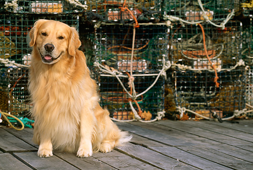 DOG 03 LS0027 01 © Kimball Stock Golden Retriever Sitting On Dock By Fishing Gear