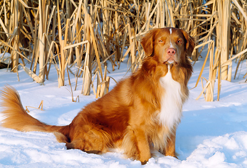 DOG 03 LS0033 01 © Kimball Stock Portrait Of Nova Scotia Duck Tolling Retriever Sitting On Snow At Edge Of Field