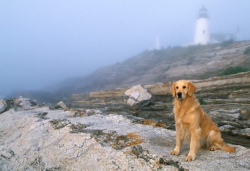 DOG 03 LS0042 01 © Kimball Stock Golden Retriever Sitting On Rocky Shore By Lighthouse In Fog