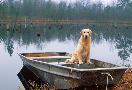 DOG 03 LS0043 01 © Kimball Stock Golden Retriever Sitting In Rowboat At Edge Of Lake