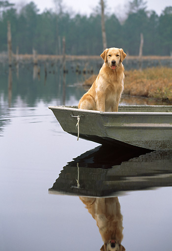 DOG 03 LS0044 01 © Kimball Stock Golden Retriever Sitting In Rowboat At Edge Of Lake