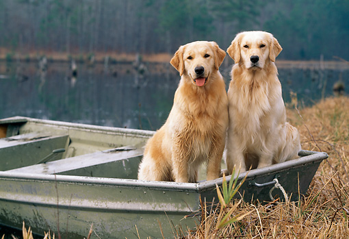 DOG 03 LS0045 01 © Kimball Stock Golden Retrievers Sitting In Rowboat At Edge Of Lake