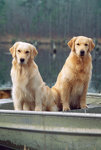 DOG 03 LS0046 01 © Kimball Stock Golden Retrievers Sitting In Rowboat