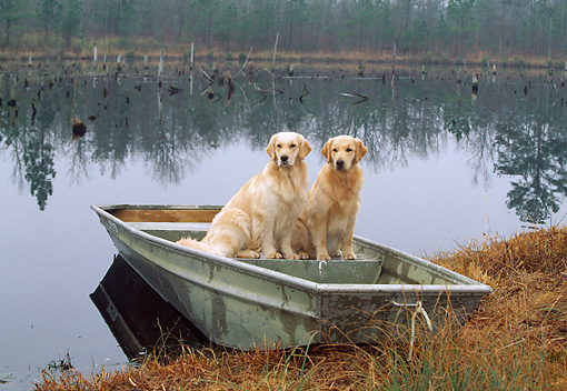 DOG 03 LS0047 01 © Kimball Stock Golden Retrievers Sitting In Rowboat At Edge Of Lake