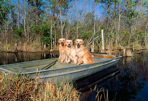 DOG 03 LS0048 01 © Kimball Stock Golden Retrievers Sitting In Rowboat At Edge Of Marsh