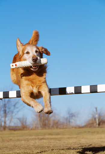 DOG 03 LS0051 01 © Kimball Stock Golden Retriever Jumping Over Agility Pole Carrying Toy