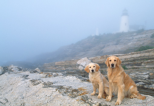 DOG 03 LS0053 01 © Kimball Stock Two Golden Retrievers Sitting On Rocky Beach By Lighthouse In Fog