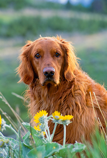 DOG 03 NE0003 01 © Kimball Stock Shoulder Shot Of Golden Retriever Sitting By Yellow Flowers