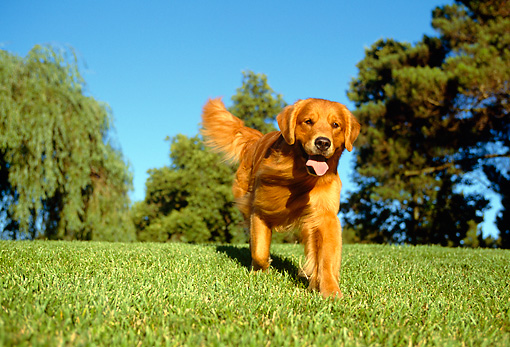 DOG 03 RK0021 03 © Kimball Stock Golden Retriever Running On Grass Toward Camera By Trees Blue Sky