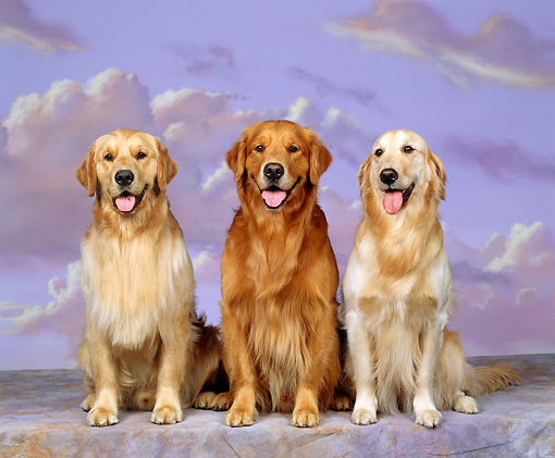 DOG 03 RK0055 08 © Kimball Stock Three Golden Retrievers Sitting In A Row Facing Camera Purple Clouds