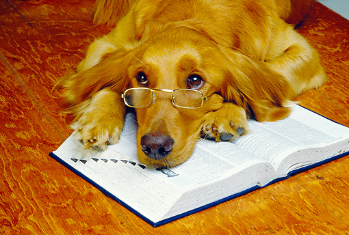 DOG 03 RK0057 11 © Kimball Stock Humorous Golden Retriever Wearing Glasses Laying On Book