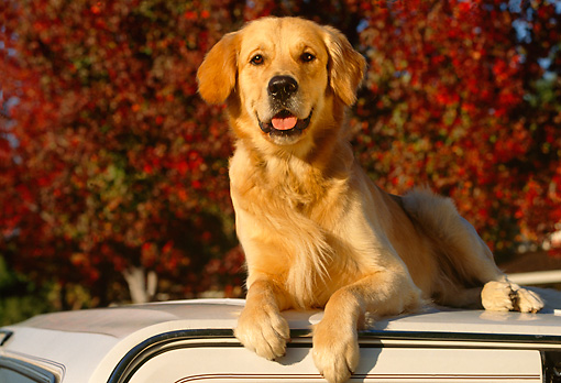 DOG 03 RK0071 08 © Kimball Stock Golden Retriever Laying On Top Of White Car