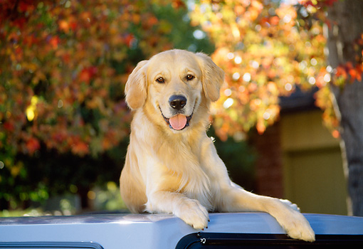 DOG 03 RK0071 17 © Kimball Stock Golden Retriever Laying On Top Of White Car