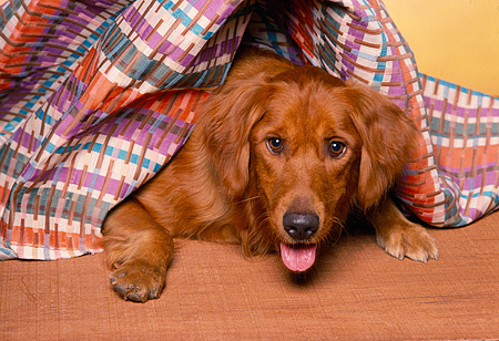 DOG 03 RK0096 05 © Kimball Stock Head Shot Of Golden Retriever Laying Under Blanket