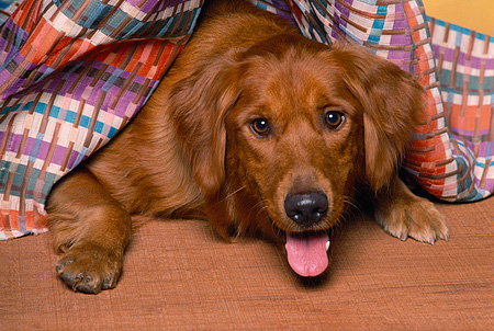 DOG 03 RK0096 11 © Kimball Stock Head Shot Of Golden Retriever Laying Under Blanket