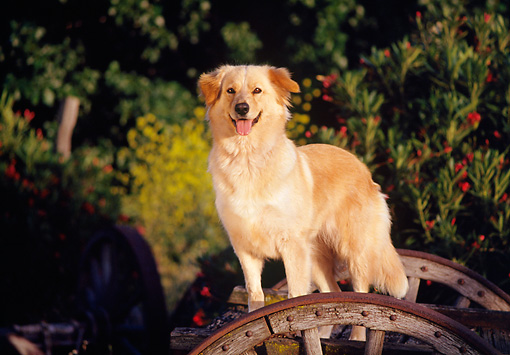 DOG 03 RK0116 07 © Kimball Stock Golden Retriever Mix Sunday Standing By Wooden Wheel Facing Camera