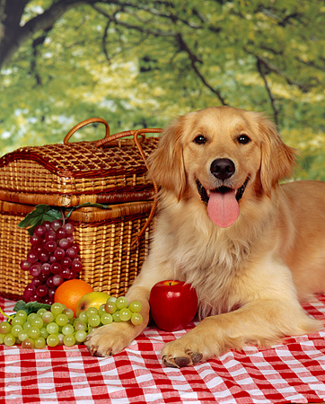 DOG 03 RK0141 07 © Kimball Stock Golden Retriever Laying By Picnic Basket And Fruit   Checkered Cloth