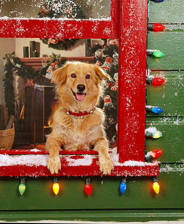 DOG 03 RK0142 18 © Kimball Stock Golden Retriever Mix Leaning Out Of Window With Christmas Lights And Snow