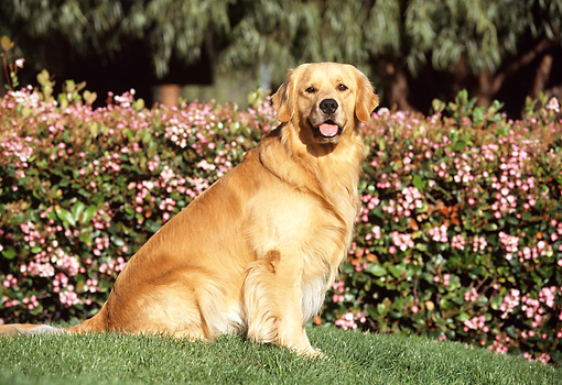 DOG 03 RK0169 02 © Kimball Stock Golden Retriever Standing Profile On Grass By Pink Flowering Shrub