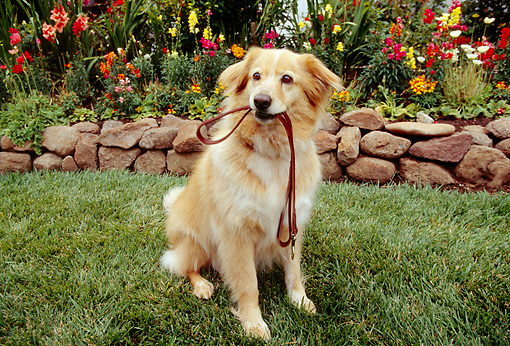 DOG 03 RK0194 11 © Kimball Stock Golden Retriever Mix Sitting On Grass With Leash In Mouth