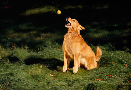 DOG 03 RK0240 01 © Kimball Stock Golden Retriever Dog Sitting On Grass Getting Ready To Catch Ball