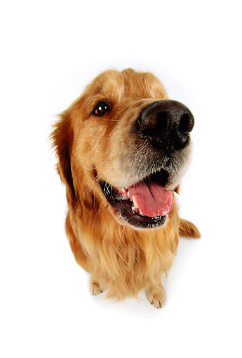 DOG 03 RK0249 22 © Kimball Stock Wide Angle Of Golden Retriever On White Seamless