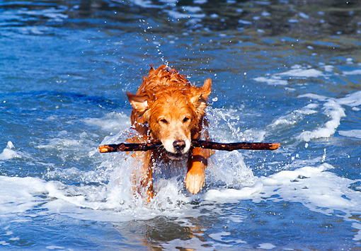 DOG 03 RK0282 02 © Kimball Stock Golden Retriever Coming Out Of Water With Stick In Mouth Splashing