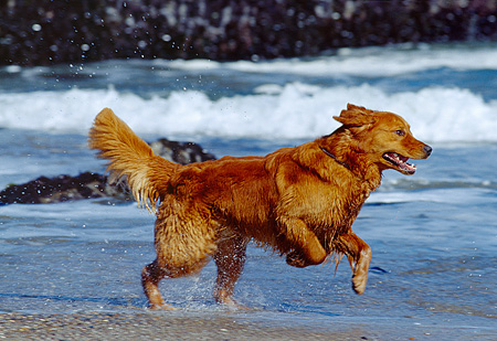 DOG 03 RK0285 03 © Kimball Stock Close Up Of Golden Retriever Running On Sand Ocean Background