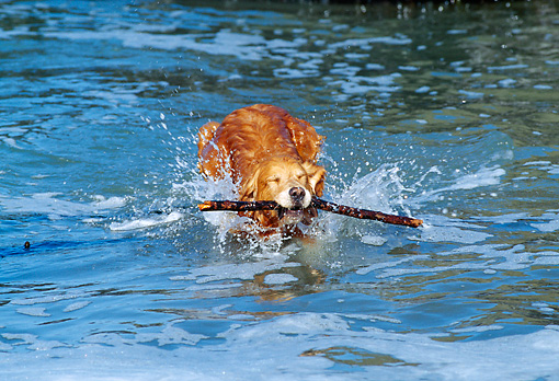 DOG 03 RK0305 02 © Kimball Stock Golden Retriever Swimming In Water With Stick In Mouth