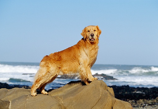DOG 03 RK0325 06 © Kimball Stock Profile Of Golden Retriever Standing On Rock By Ocean