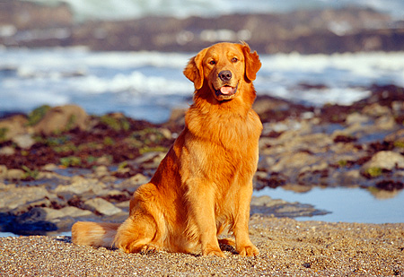 DOG 03 RK0330 25 © Kimball Stock Golden Retriever Sitting On Beach