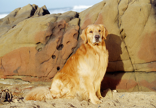 DOG 03 RK0344 07 © Kimball Stock Golden Retriever Sitting On Sand By Rocks At Beach