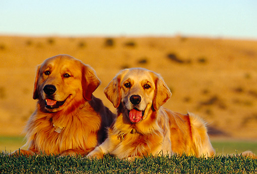 DOG 03 RK0378 01 © Kimball Stock Two Golden Retrievers Laying On Grass