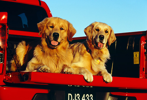 DOG 03 RK0381 04 © Kimball Stock Two Golden Retrievers Laying In Bed Of Red Pickup Truck