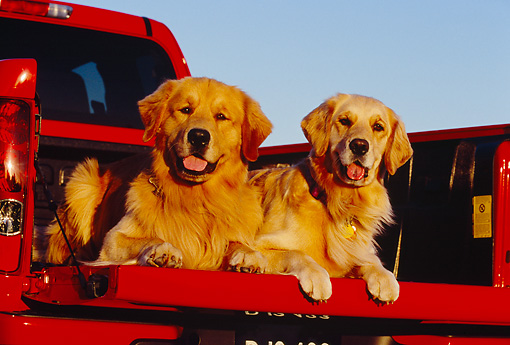 DOG 03 RK0381 08 © Kimball Stock Two Golden Retrievers Laying In Bed Of Red Pickup Truck