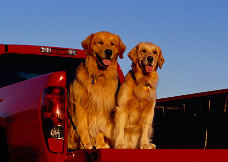 DOG 03 RK0382 01 © Kimball Stock Two Golden Retriever Dogs Sitting In Back Of Red Truck