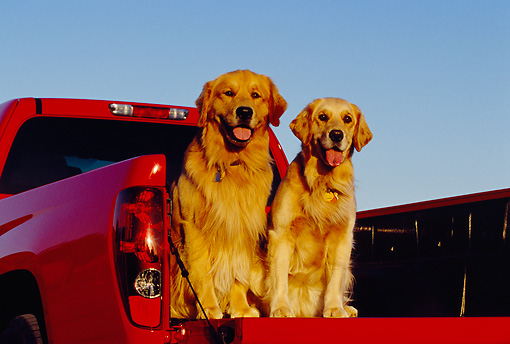 DOG 03 RK0382 05 © Kimball Stock Two Golden Retriever Dogs Sitting In Back Of Red Truck