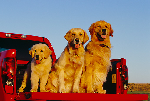 DOG 03 RK0383 15 © Kimball Stock Two Adult And Puppy Golden Retrievers Sitting In Bed Of Red Pickup Truck