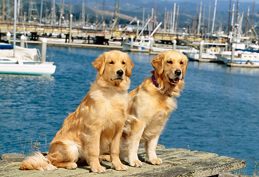 DOG 03 RK0393 06 © Kimball Stock Two Golden Retrievers Sitting On Dock At Marina