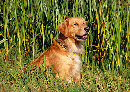 DOG 03 RK0400 04 © Kimball Stock Golden Retriever Sitting In Tall Grass