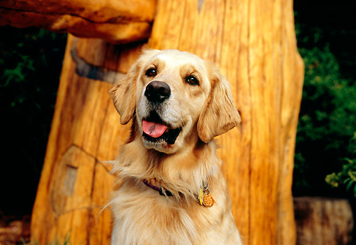DOG 03 RK0405 06 © Kimball Stock Golden Retriever Sitting By Tree Trunk