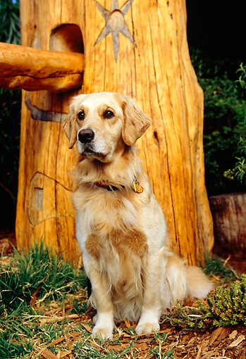 DOG 03 RK0405 09 © Kimball Stock Golden Retriever Sitting By Tree Trunk