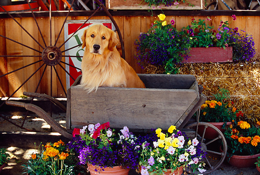 DOG 03 RK0406 09 © Kimball Stock Golden Retriever Sitting In Wheelbarrow By Flowers Wagon Wheel