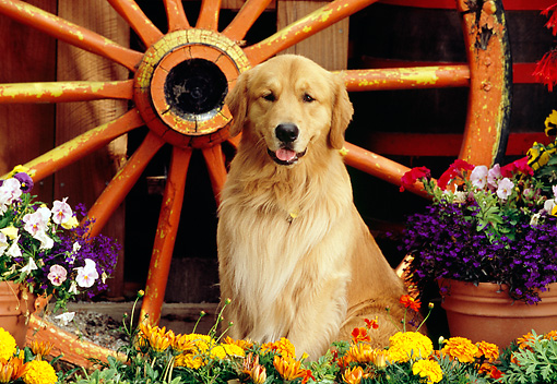 DOG 03 RK0411 04 © Kimball Stock Golden Retriever Sitting By Wagon Wheel And Flowers